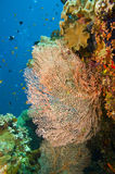 Large gorgonian sea fan stock photography