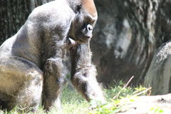 Large Gorilla. A large silver gorilla in zoo Stock Image