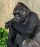 Large gorilla sitting next to a wall Royalty Free Stock Photo