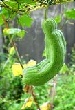 Large Gourd Hangs from a Vine Stock Images