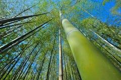 Large grand en bambou du Japon Images stock