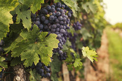 Large grape cluster ready for harvest Stock Images