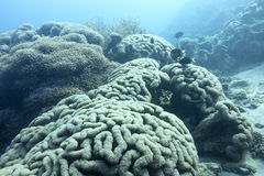 Large grape coral at great depth in tropical sea, underwater Royalty Free Stock Photos