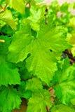 Large Grape Leaf on Vine Royalty Free Stock Photography