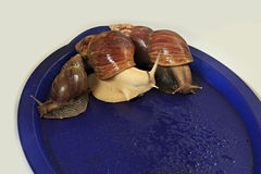 Large grape snail on blue tray. Stock Photos