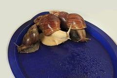 Large grape snail on blue tray. Stock Photos
