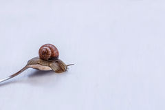 Large grape snail crawling on an old tablespoon on white background. Large brown grape snails crawl along old tablespoon on white background Royalty Free Stock Image