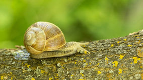A large grape snail Royalty Free Stock Photo
