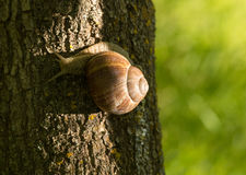 A large grape snail Royalty Free Stock Photography