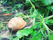 Large grape snail. stock photo