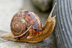 Large grape snail overcomes obstacles. In the form of a rubber garden hose Stock Image