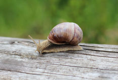 Large grape snail. Quickly creeps on a log Royalty Free Stock Images