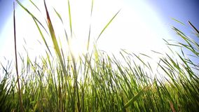 Large grass blades in a marsh with sun flare stock footage