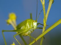 Large grasshopper Royalty Free Stock Image