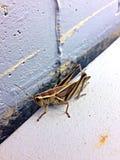 Large grasshopper Stock Photos