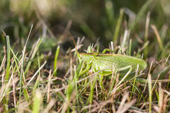 Large grasshopper crawling in grass Stock Photo