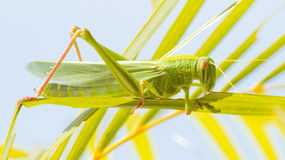 Large grasshopper, eating grass royalty free stock photo