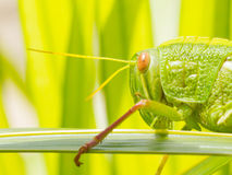 Large grasshopper, eating grass stock image