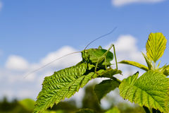 Large grasshopper Royalty Free Stock Images