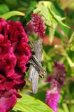 Large grasshopper on pink flower. Large brown grasshopper sitting on beautiful pink flower. Macro photography stock images