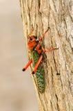 Large Grasshopper Royalty Free Stock Photos