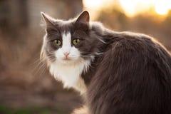 Large gray cat staring at someone Royalty Free Stock Image