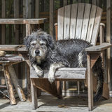 Large Gray Dog Relaxing in a Chair. A large gray shaggy-haired mixed-breed dog relaxes in a wooden chair after a busy day at the cottage - Haliburton, Ontario stock photo