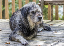 Large Gray Dog Resting on a Cottage Deck Stock Photo