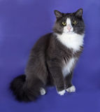 Large gray fluffy cat with white spots sitting on blue Stock Photos