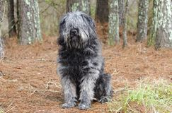 Large gray fluffy Sheepdog type dog sitting outside. Large gray fluffy dog with lots of hair. Matted fur needs grooming. Hair covering eyes. Possibly a mix of royalty free stock photos