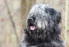 Large gray fluffy scruffy Newfie type dog needs groom. Large gray fluffy dog with lots of hair. Matted fur needs grooming. Hair covering eyes. Possibly a mix of stock photos