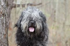 Large gray fluffy scruffy Old English Sheepdog Newfie type dog needs groom. Large gray fluffy dog with lots of hair. Matted fur needs grooming. Hair covering stock image