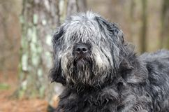 Large gray fluffy scruffy Old English Sheepdog Newfie type dog needs groom. Large gray fluffy dog with lots of hair. Matted fur needs grooming. Hair covering stock photos