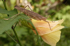 Large gray grasshopper on a beautiful flower. Royalty Free Stock Photos