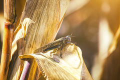 Large, gray green specimen locust sits on a dry piece of corn in the field. Large, gray-green specimen locust sits on a dry piece of corn in the field. Invasion Stock Photo