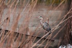 A large gray heron flew over the frozen lake Royalty Free Stock Image