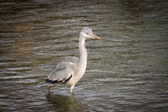 Large Gray Heron Stalking Royalty Free Stock Photography