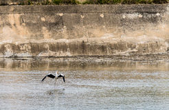 Large gray heron standing in water. Large gray heron standing in shallow water with its wings extended with a concrete wall in background Royalty Free Stock Photos