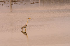 Large gray heron standing in water. Large gray heron standing in shallow water of a lake in South Korea Royalty Free Stock Photos
