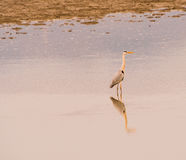 Large gray heron standing in water. Large gray heron standing in shallow water of a lake in South Korea Royalty Free Stock Photo