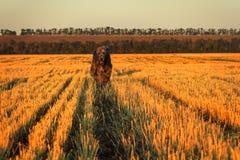 Large gray Irish wolfhound runs along the stubble Royalty Free Stock Image