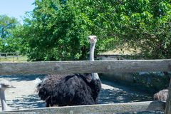 A large gray ostrich peeps out through the zoo fence. royalty free stock photography