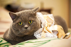 Large gray Persian cat on the bed Royalty Free Stock Images