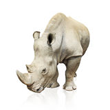 Large gray rhinoceros isolated on white background Stock Image