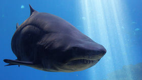 A large gray shark in the water Stock Photo