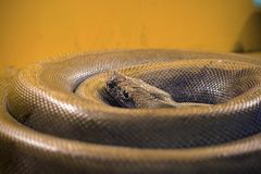 The big snake curled into a ring. A large gray snake curled into a ring stock photography