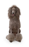 A large gray standard Poodle dog on white Stock Photos