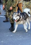 A large gray white husky dog is in the ranks with the owner, a soldier of the Ukrainian army. stock photo