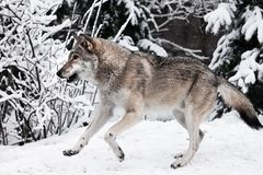 Wolf quickly runs through the forest, a powerful impetuous wild beast in winter. A large gray wolf quickly runs through the forest, a powerful impetuous wild stock photo