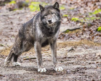 Large Gray Wolf stretches his back legs. Royalty Free Stock Image